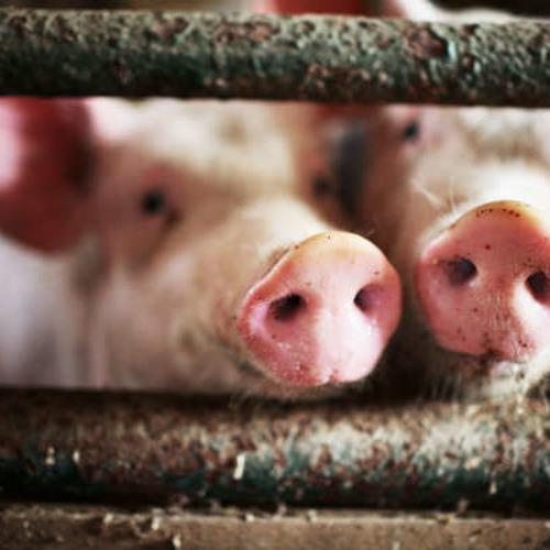 Cheeky Swine Records's avatar