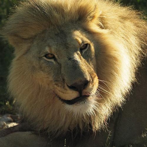 Grandpa Lion's avatar