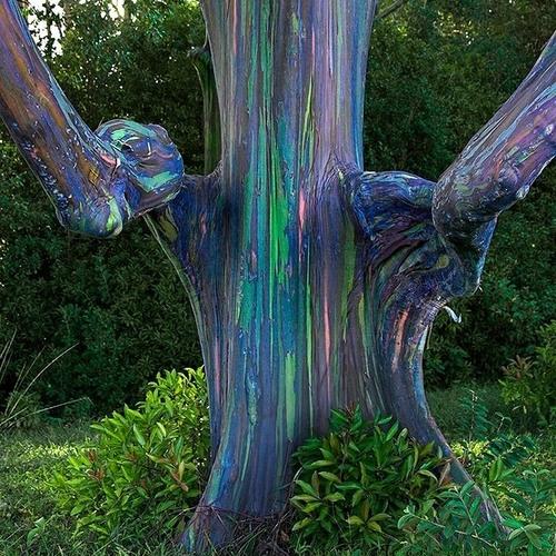 Rainbow Eucalyptus's avatar