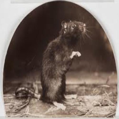Rattus rattus's avatar