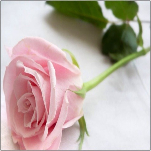 pink.roses's avatar