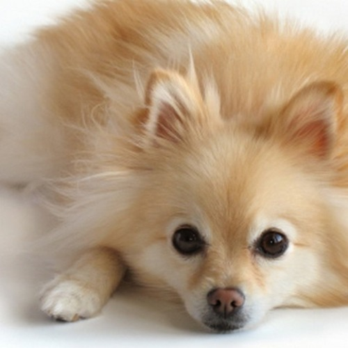 The Pomeranians Are Here's avatar