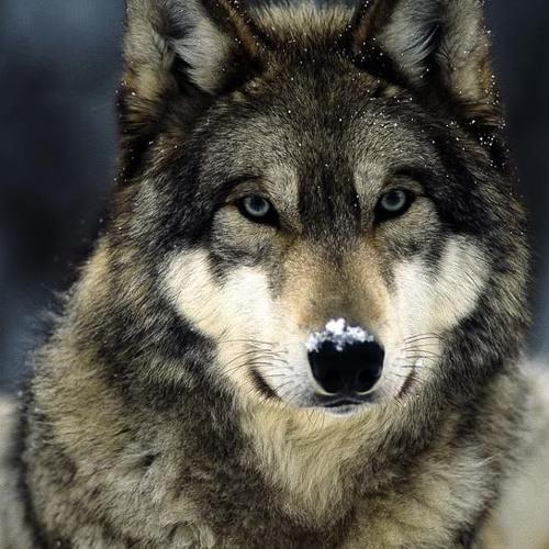 I Am a Wolf's avatar