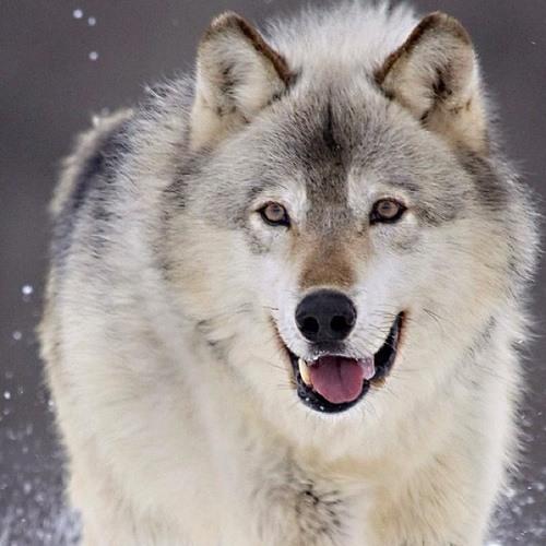 wolf888's avatar