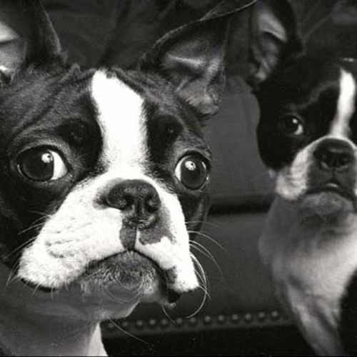The Boston Terriers's avatar
