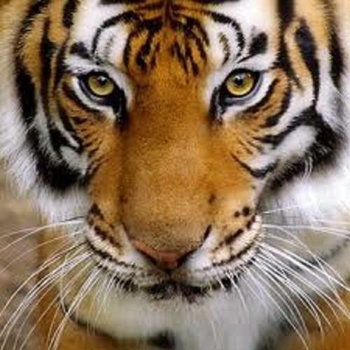 Panthera tigris's avatar