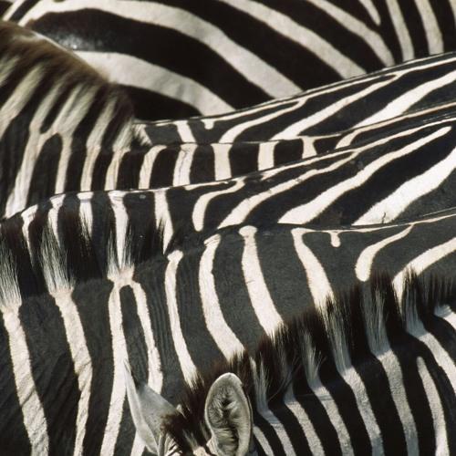 Zebra#'s avatar