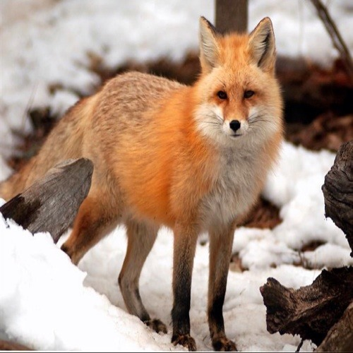What the fox said!'s avatar