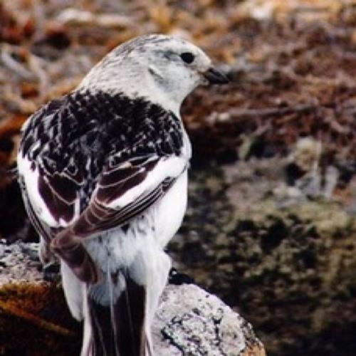 Qupanuaq (snow bunting)'s avatar