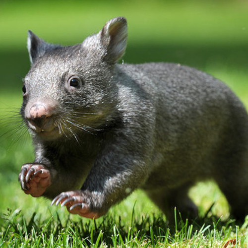 RunningWombat's avatar