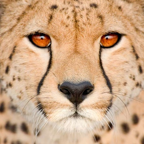 Chase The Cheetah Down's avatar
