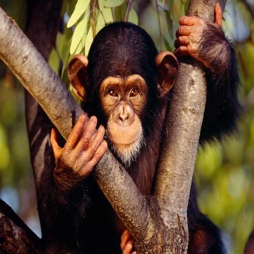 chimptalker547's avatar