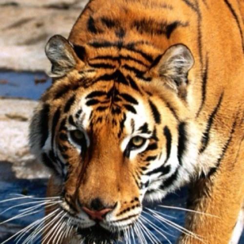 Rettet die Tiger's avatar