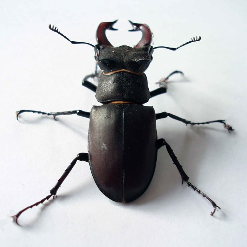 Stag Beetle (DE Podcasts)'s avatar