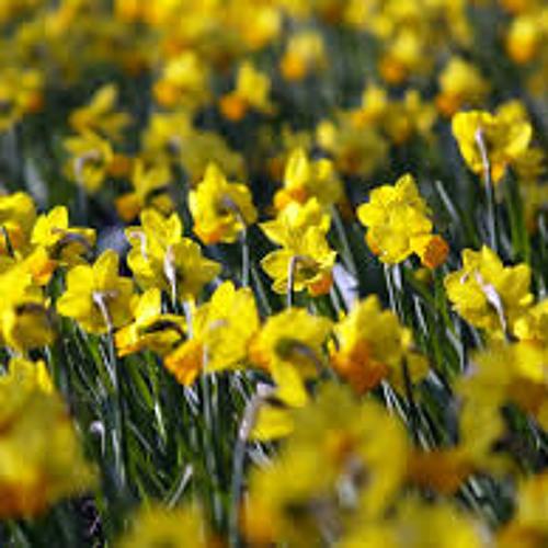 Daffodils Dance (Hoxton)'s avatar