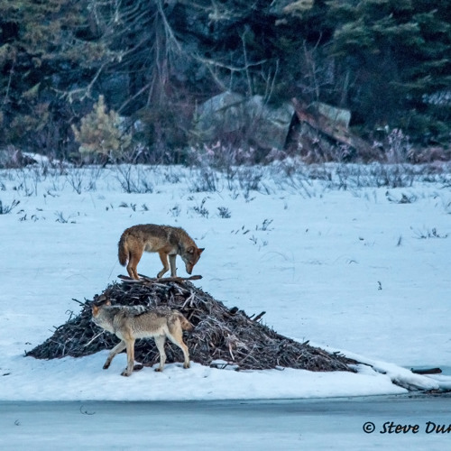 Algonquin Wolf Pack Howling