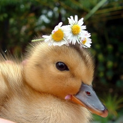 Cute Baby Duckling S Stream On Soundcloud Hear The World