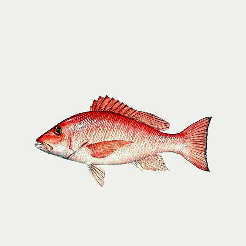 Pargo Rojo's avatar