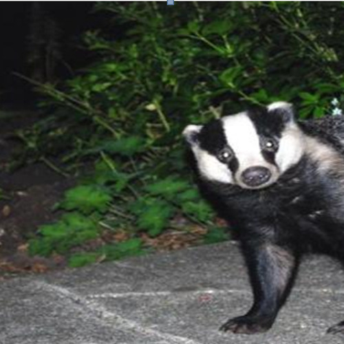 Disappointed Badger's avatar