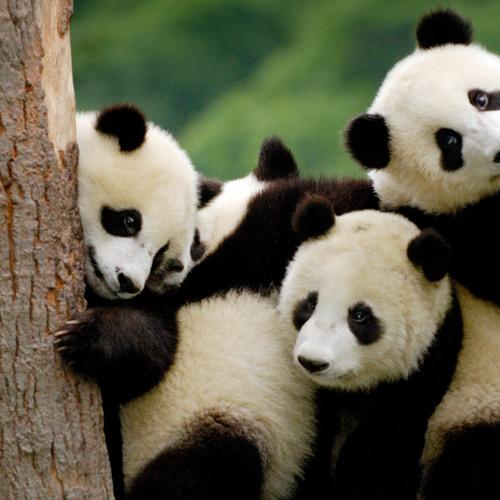 Panda Love Baby's avatar