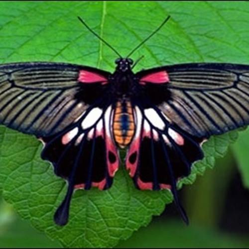 Butterfly Rambler's avatar