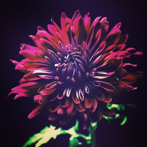 MusicalChrysanth's avatar