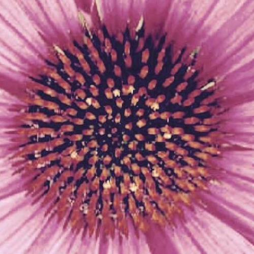 Echinacea's avatar