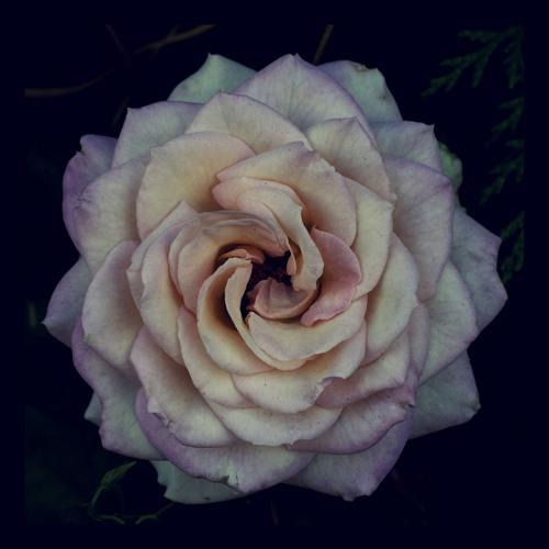 ::Peony Rose::'s avatar