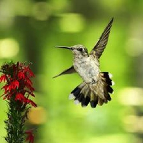 Hummingbird's avatar