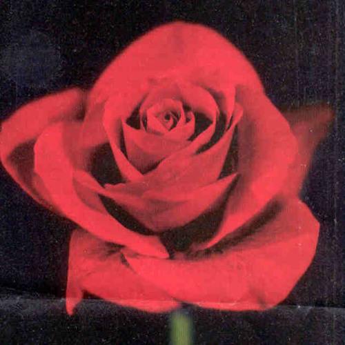 The Roseberries's avatar