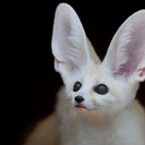 Fennec Fox's avatar