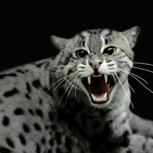 MAD CAT's avatar