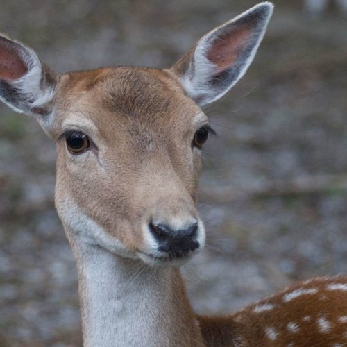 _Deer's avatar