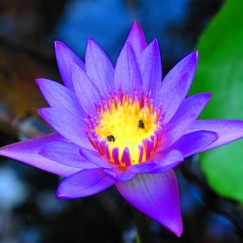 Blue Lotus's avatar