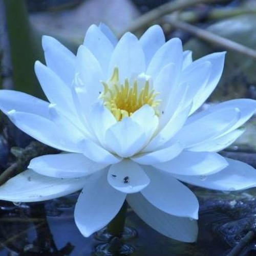 Lotus's avatar