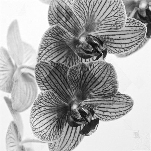 The Black Orchid's avatar