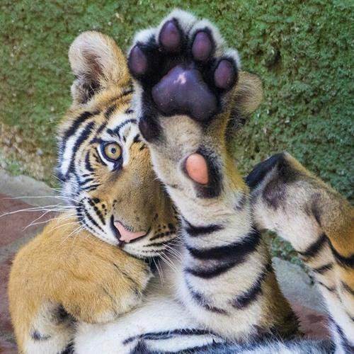 DJ Tiger-Paw's avatar