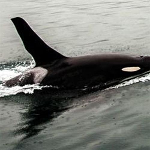 Killer Whale's avatar