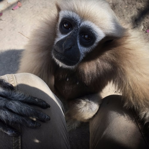 GibbonConservationCenter's avatar