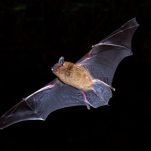 Little Brown Bat echolocation calls