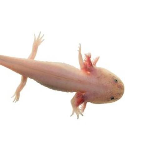 axolotl society's avatar