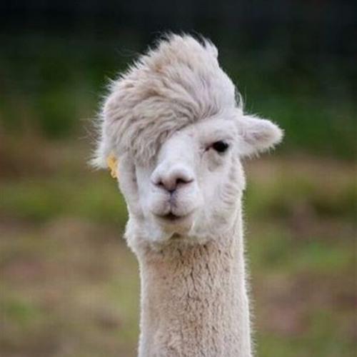 Fergus The Llama's avatar