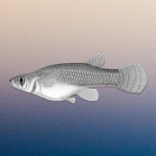 Gambusia's avatar