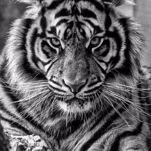 Tigra Tijger's avatar