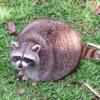Fat Raccoons