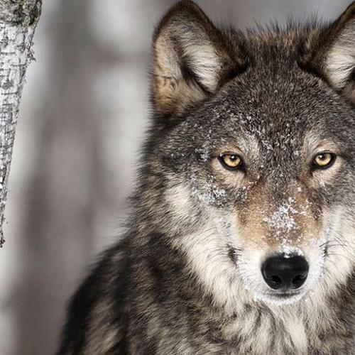 Norwegian Wolf's avatar