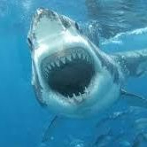 shark boi's avatar