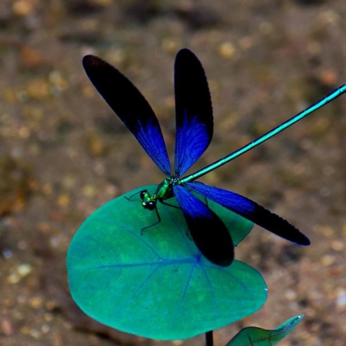 Die Libelle's avatar