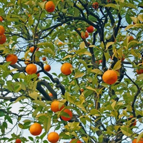Tangerine Day Dream's avatar