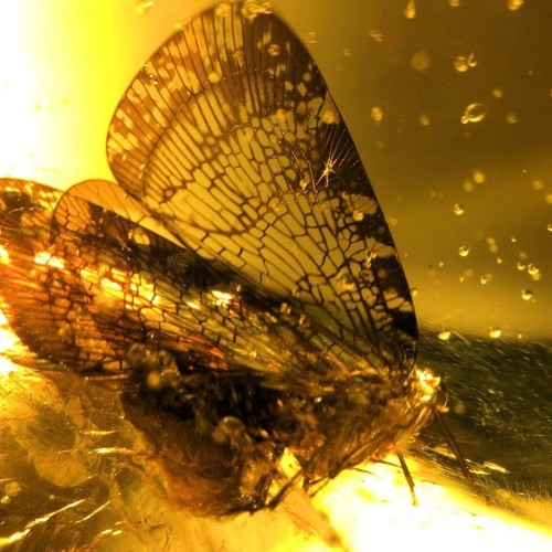 A Moth in Amber's avatar